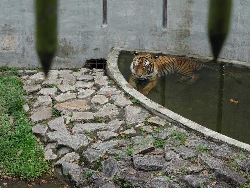 水から動かないトラ